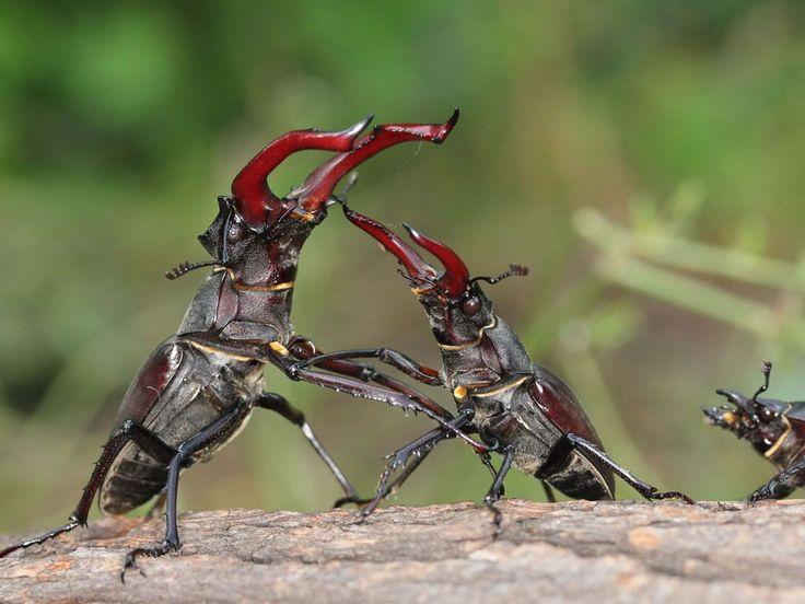 Combat insectes
